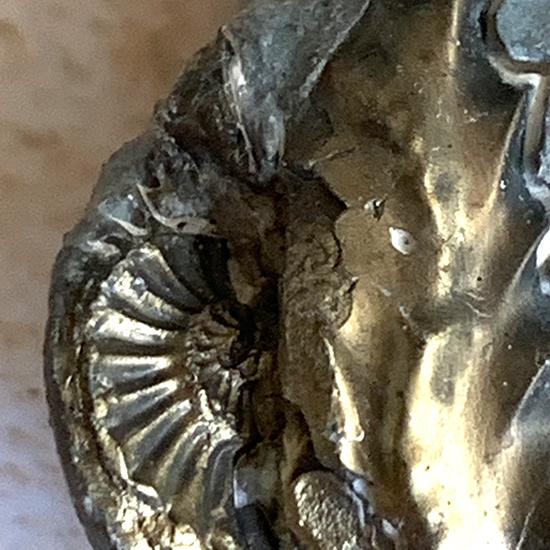 黄鉄鉱化したアンモナイトネガティヴ化石/きらら舎
